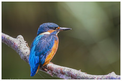 Kingfisher (Alcedo atthis) - 'Z' for zoom (hunt.keith27) Tags: moving still hard management pollution through habitat winters vulnerable degradation watercourses unsympathetic blue orange fish bird water birds canon river moss stream slow bright beak kingfisher fisher alcedoatthis huntfish