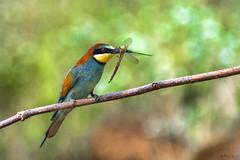 Żołna/Bee Eater #2 (mirosławkról) Tags: animal bird nature nikonnaturephotography 150600 poland wild wildlife green merops apiaster żołna bee eater