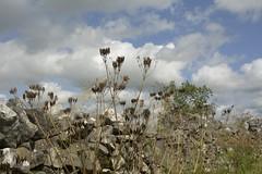 SweetCicely (Tony Tooth) Tags: nikon d7100 sigma 1750mm sweetcicely myrrhisodorata seeds seedheads heathcote derbyshire