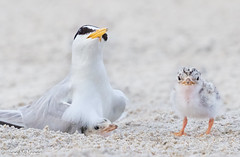 Baby shows its independence (NorthShoreTina) Tags: tern leasttern ternchick