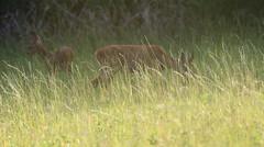 Ghostly presence - En discrète compagnie... (Nadine Le Goff) Tags: roe deer fawn chevrette faon chevreuil