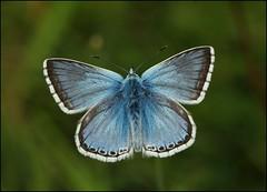 Male Chalkhill Blue basking - Prestbury Hill (glostopcat) Tags: chalkhillbluebutterfly butterfly lepidoptera insect invertebrate macro summer july glos butterflyconservation prestburyhillnaturereserve