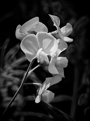 White sweet peas (sharon'soutlook) Tags: sweetpea blackandwhite flower summer