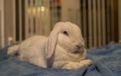 Majestic Marble (daveseargeant) Tags: rabbit bunny bun lop white portrait nikon df 50mm 18g medway rochester kent