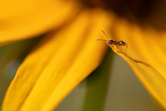 Nope, not this way... (jmfuscophotos) Tags: ant newyorkstate macro nature flower insects insect westchestercounty wildlife
