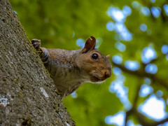 Squirel2 (mrdavepayne71) Tags: outdoors nature wildlife photography white black london england uk great britain canon powershot sx70hs squirrel