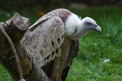 Griffon Vulture (nato.irfan) Tags: bird vulture canon animal 77d 70300mm green moody