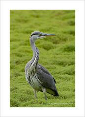 Heron in grass (prendergasttony) Tags: avian bird birdwatching border birding rspb nikon d7200 tonyprendergast nature northwest grass green heron