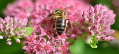 Honey bee on Sedum (Hylotelephium) spectabile (conall..) Tags: hylotelephium sedum sedumspectabile hylotelephiumspectabile nikon afs nikkor f18g lens 50mm prime primelens nikonafsnikkorf18g closeup raynox dcr250 macro botanic park belfast southbelfast northernireland bee honeybee apis mellifera apismellifera pollination flower pollen load pollenload desenfoque outoffocus narrow dof selective focus
