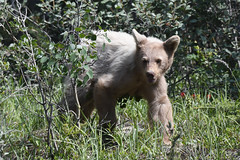 Young Black Bear (Sandsman83) Tags: banff national park alberta animals wild wildlife nature black bear kananaskis canada