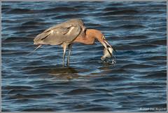 Reddish Egret with Catch 0798 (maguire33@verizon.net) Tags: bolsachica bolsachicaecologicalreserve egrettarufescens reddishegret bird egret wetlands wildlife huntingtonbeach california unitedstatesofamerica