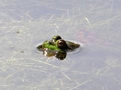 Monday's frog (EcoSnake) Tags: americanbullfrog lithobatescatesbeiana frogs amphibians water wildlife summer august violence idahofishandgame naturecenter