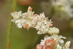 "Well-camouflaged ""Looper"" caterpillar on California Buckwheat (Treebeard) Tags: camouflage loopercaterpillar geometridmoth emeraldmoth synchlora geometridae lepidoptera californiabuckwheat eriogonumfasciculatum polygonaceae sanmarcospass santabarbaracounty california"