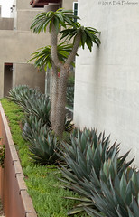 Modern Succulent Planter (GoodLifeErik) Tags: morning pacificphotographicsociety encinitas california pch pacificcoasthighway highway101 succulents tree architecture wall planter green