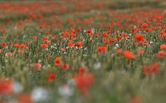 wheat field (UndaJ.M.) Tags: wheat poppies field meadow
