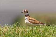 Killdeer (Lynn Tweedie) Tags: grass killdeer eos sigma150600mmf563dgoshsm 7dmarkii missouri eye tail bird wing beak green canon feathers ngc animal
