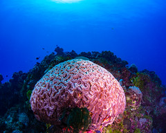brain coral on the reef (b.campbell65) Tags: animal animals beautiful beauty blue colorful coral fiji fish island marine nature ocean outdoors pacific park reef scuba sea seawater tourism travel tropical underwater water wildlife