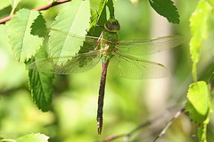 Anax précoce (F) / Common Green Darner (F) (alainmaire71) Tags: insecte insect odonata odonate libellule dragonfly aeschne darner aeshnidae anaxjunius anaxprécoce commongreendarner nature quebec canada