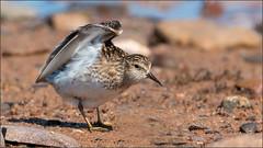 (c)WMH_2019_08_05 Least Sandpiper (WesleyHowie) Tags: birds canada grandpre leastsandpiper location novascotia sandpiper theguzzle wildlife