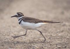 Ministry of silly walks (Tracey Rennie) Tags: bird killdeer walking road