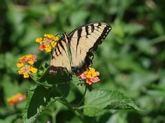 Tiger swaiiowtail (bamboosage) Tags: mamiyasekor 17 ƒ58mm m42