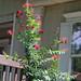 bloombuddie's Crape Myrtle Dynamite in Bedroom window garden