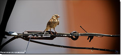 El Pájaro (Antonio Zamora) Tags: antoniozamora pájaro pajaro pajaros pájaros bird birds animales animals animal zoom spain sigma sigma150600 españa eos7d eos casasimarro canon marron marrón nature naturaleza natura