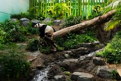 Zoo Panda (Bracus Triticum) Tags: zoo panda animal calgary カルガリー アルバータ州 alberta canada カナダ 7月 七月 文月 shichigatsu fumizuki bookmonth 2019 reiwa summer july