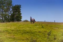 Horse on a Nole (Bracus Triticum) Tags: horse nole animal アルバータ州 alberta canada カナダ 7月 七月 文月 shichigatsu fumizuki bookmonth 2019 reiwa summer july