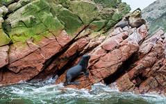 Seal on the rocks (E. Aguedo) Tags: ica paracas peru seal sea lion animal wild wildlife rocks waves water ocean erosion nature ngc southamerica