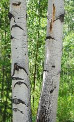 Aspen Tree Trunks c DSC_0131_edited-2 (John Dreyer) Tags: aspens aspentree nikon nikond5100 colorado rockymountains copyright2019johnjdreyer photocreditjohnjdreyer