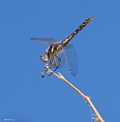 Variegated Meadowhawk 7030 (Ethan.Winning) Tags: variegatedmeadowhawk damsels dragons rockcityonmtdiablo walnutcreekcalifornia cethanwinning canonsx10 explore