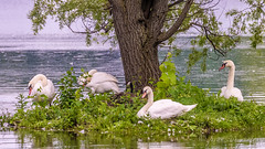 Lazing on a sunny afternoon ~ note the lone Canada Goose in the group ~ Kensington Metropark, Michigan (j van cise photos) Tags: lazing sunnyafternoon swans goose island water tree lifeofluxury birds kensingtonmetropark michigan onthewing fauna muteswans