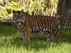 2019 07-25 ZooMiami Sumatran Tiger DSC06326 (Caphayes) Tags: tiger cat zoomiami sumatran musictomyeyes
