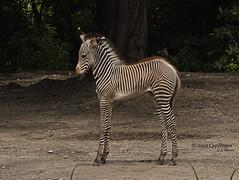 2019 07-25 ZooMiami Baby Zebra  DSC06632 (Caphayes) Tags: musictomyeyes zebra baby zoomiami