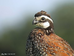 Male Bobwhite Quail Portrait (Gary Helm) Tags: bird birds quail northernbobwhite virginia nature virginiaquail wildlife outside outdoor field grounddwelling newworldquail joeoverstreetroad osceolacounty florida photograph image garyhelm ghelm4747 fly flight feathers perch post floridawildlife portrait canon camera sx60hs male animal