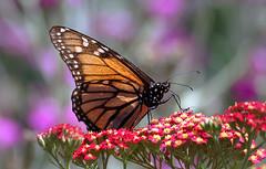 Monarch (Danaus plexippus) (Bernard Spragg) Tags: monarchdanausplexippusmacro butterfly nature sony insect closeup insecta lepidoptera arthropoda nymphalidae macrodreams