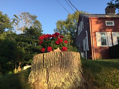 the old & the new (77ahavah77) Tags: flowers red maine nature outside
