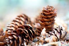 Flickr Friday: Brown (Jean-Pierre Bérubé) Tags: flickrfriday brown cocotte cone marron brun parcnationaldubic bic québec jpdu12 jeanpierrebérubé nikon d5300 flore