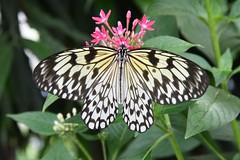 Paperkite Butterfly - Idea Leuconoe (j shew) Tags: paperkite butterfly