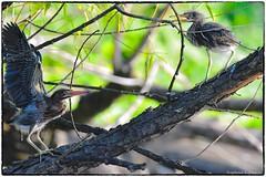 Green Heron Chicks (RKop) Tags: greenheron armlederpark cincinnati raphaelkopanphotography d500 600mmf4evr 14xtciii