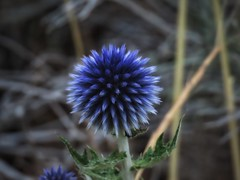 Sticky Blue (Robert Cowlishaw (Mertonian)) Tags: blue mertonian evening dusk robertcowlishaw canon powershot sx70hs canonpowershotsx70hs point ineffable awe wonder 4wisdom beauty beautiful flower summer2019 4sophia