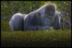 Silverback (QuakerVille) Tags: miamizoo zoo miami florida usa