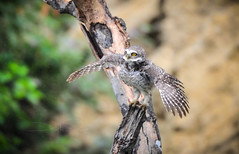 Wings of fire! (theviewfinder) Tags: birds birdphotography nikon d3s midhunjohnthomas karnataka owls