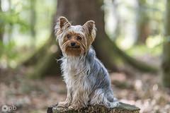 Baboo (Philippe Bélaz) Tags: baboo terrier yorkshire animaux animauxdecompagnie arbres bois brun cendré chiens forêts gris vert