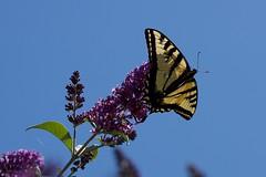 Eastern tiger swallowtail (gsmper) Tags: butterfly eastern tiger swallowtail papilio glaucus colors sunlight flower feeding insect wildlife sky california park garden summer nature sony sigma art mc11