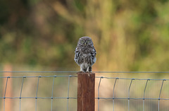 Little Owl Juvenile-8509890 (seandarcy2) Tags: owl owls littleowl woodland wild wildlife nature birds bucks uk birsofprey