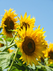 2019 Sunflower #3 (Yorkey&Rin) Tags: 2019 bluesky em5markii hokutocityakeno japan july olympus olympusm14150mmf4056ii p7300055 rin summer sunflower sunflowerfestival sunflowerfield yamanashi ひまわりまつり 夏 向日葵 山梨県 七月 青空 北杜市 明野