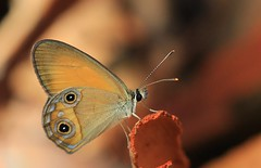 Orange Ringlet - Hypocysta adiante - Fraser Island-221018 (7) -Explored (Ann Collier Wildlife & General Photographer) Tags: orangeringlet hypocystaadiante fraserisland queensland butterflies butterfliesmothsandcaterpillars australia macro naturalhistory insects insect wildlife