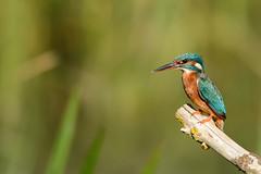 Kingfisher (robin elliott photography) Tags: kingfisher alcedoatthis bird birds outside outdoors nature wild wildlife nikon nikond7100 nikon20050056 waterbirds